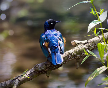 Superb Starling - image #288571 gratis