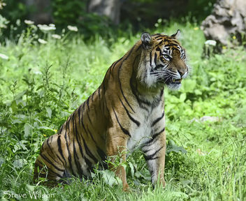 Kirana the female Tiger - Kostenloses image #288581