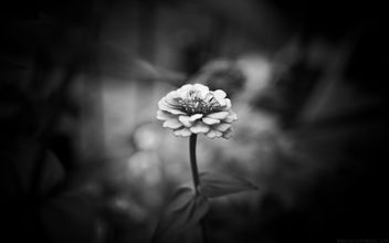 Black & White Zinnia Wallpaper - Free image #289111