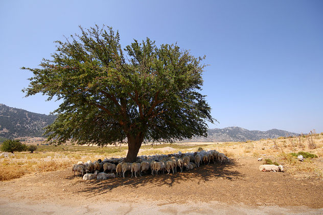 Flock Of Sheep In Omalos Plateau - image #289671 gratis