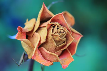 An old rose - image gratuit #289911