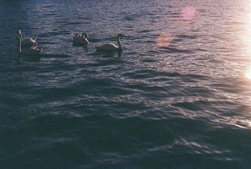 Evening Swans. - Free image #290121