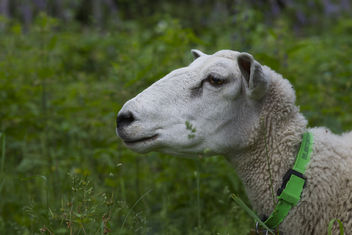 sheeps out - Free image #290381