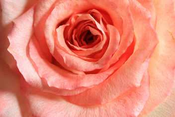 A rose - Kostenloses image #290571