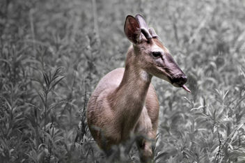 The Cheeky Deer. - image gratuit #290881