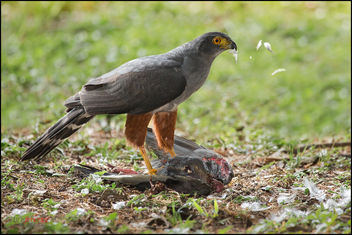 Bicoloured Hawk (Accipiter bicolor) with prey - image gratuit #290931