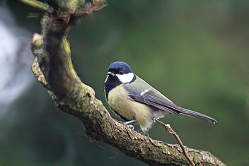 Great Tit - Kostenloses image #290981