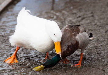 Duck battle - Free image #291141