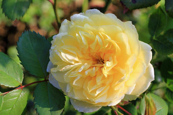 English rose, already the thirds flower - image gratuit #291391