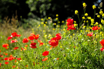 Poppies - Free image #292331