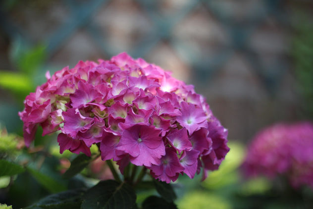 Pink flowers - Free image #292401