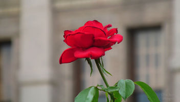 Red Rose - image gratuit #292891