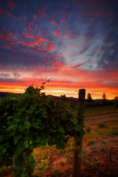Vineyard Sunset - image #293321 gratis