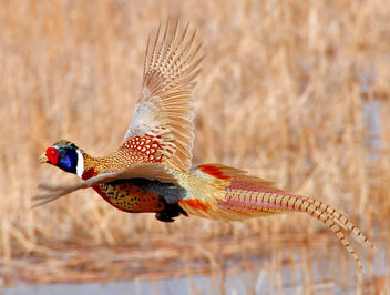 Ring-necked pheasant flying Lacreek National Wildlife Refuge - Free image #293441