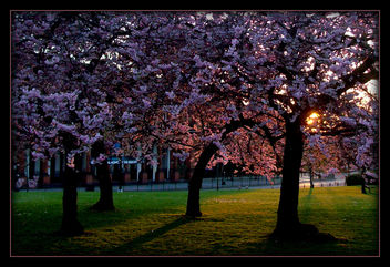 Cherry Blossoms in Glasgow West End - Free image #293541