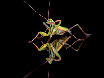 The thinking mantis - Free image #295331