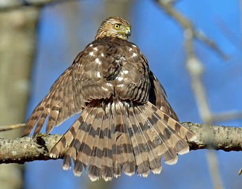 Young Coopers Hawk - image gratuit #295461