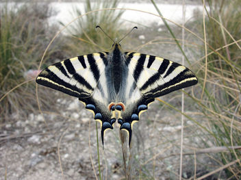 Scarce Swallowtail (Iphiclides podalirius) - бесплатный image #295711