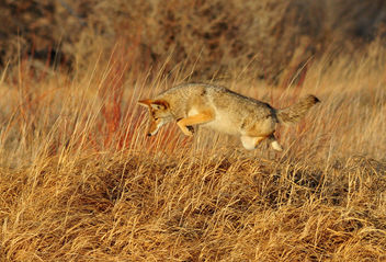 Leaping Coyote Seedskadee NWR - бесплатный image #295781