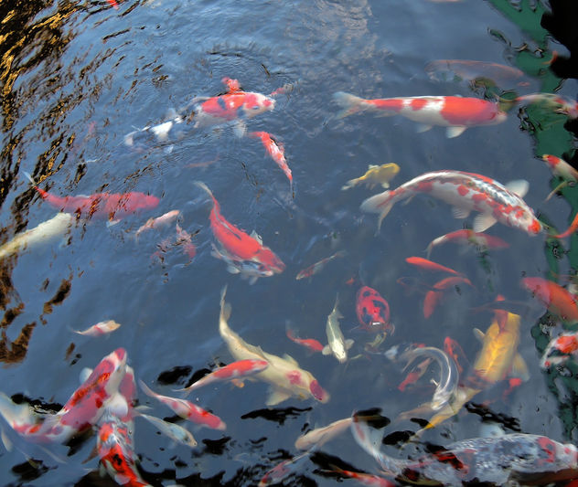 pond fishes - Free image #296461
