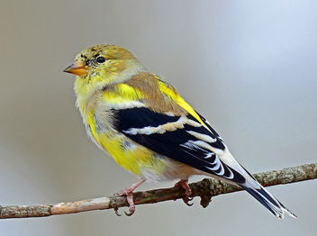 Goldfinch Molting to Breeding Plumage - image #297021 gratis