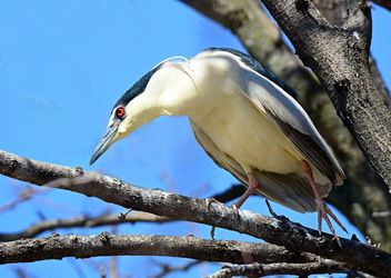Black Crowned Night Heron - Kostenloses image #297191