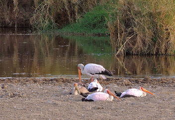 Tanzania (Serengeti National Park) Resting yellow-billed storks - бесплатный image #298261
