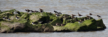 Whimbrel and Oystercatchers - Free image #298511