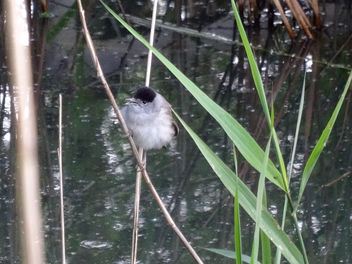 Young Blackcap, Leighton Moss - Free image #298971