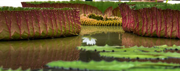 Giant waterlily - Free image #299131