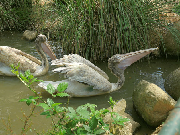 Turkey (Polonezkoy Zoo)- Pelicans - Free image #299191