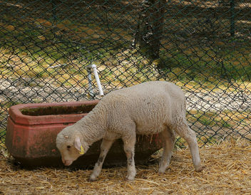 Turkey (Polonezkoy Zoo)- Small lamb - Free image #299201