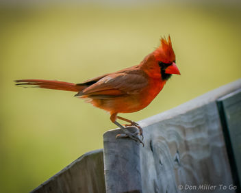 Cardinal (male) - Kostenloses image #299441