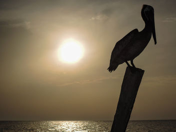 pelican sunset Holbox island Mexico - Free image #300041