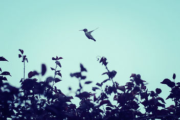 Happy hummingbird #Flying - бесплатный image #300321
