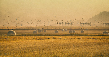 crows over harvested fields - image gratuit #300371