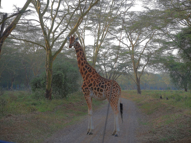Kenya (Nakuru National Park) Most probably Giraffe thinks that this road belongs to her - image #300391 gratis
