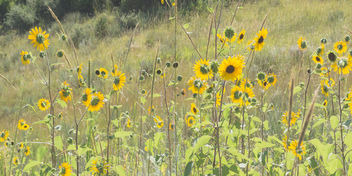 Yellow Flowers, Garden of the Gods - Free image #300551
