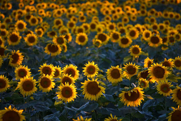 Sunflowers at sunset - image gratuit #300591