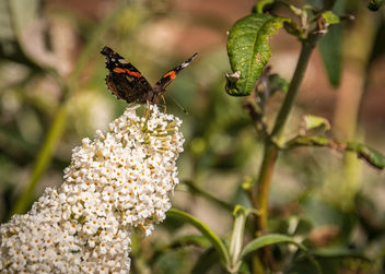 Red Admiral - Free image #300701
