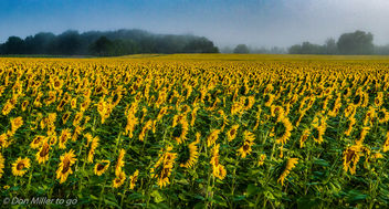 Sunflower Fields - image gratuit #300781