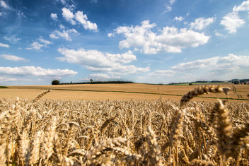 Endless wheat fields - Free image #300881