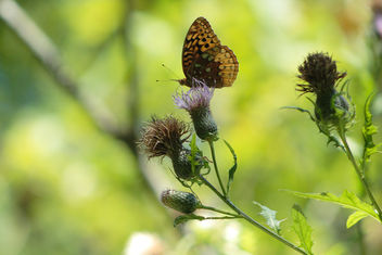 great spangled fritillary(Speyeria cybele) on thistle - Kostenloses image #301101
