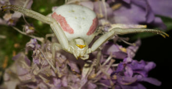Aggressive Crab Spider - бесплатный image #301191
