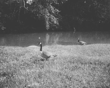 Geese - Kostenloses image #301211