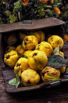 Ripe quinces in handbag - Free image #302061