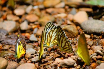 Yellow butterflies on stones - Free image #303771
