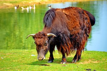 Red buffalo - image #304741 gratis