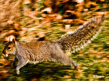 Squirrel like a tiger - бесплатный image #306071