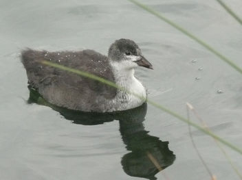 A Young Coot at Richmond Park - Free image #306201